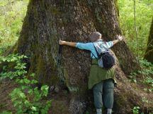 the big spruce