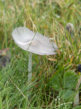 In Port La Joye, I found many strange and beautiful mushrooms, this was the most delicate.