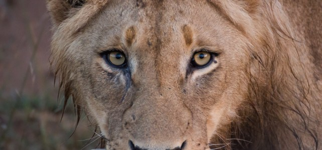 Sabi Sands Adult Male Lion Close Up