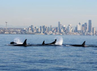 Governor Inslee also wants Orcas to return | Quinault Fisheries Department