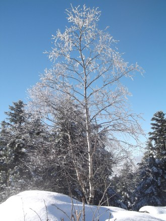 A lovely hoar-frosty tree at the summit of Schneeberg.
