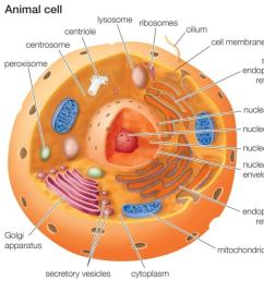 part of the things that sets animal cells apart from plant cells are as follows  [ 1500 x 1009 Pixel ]
