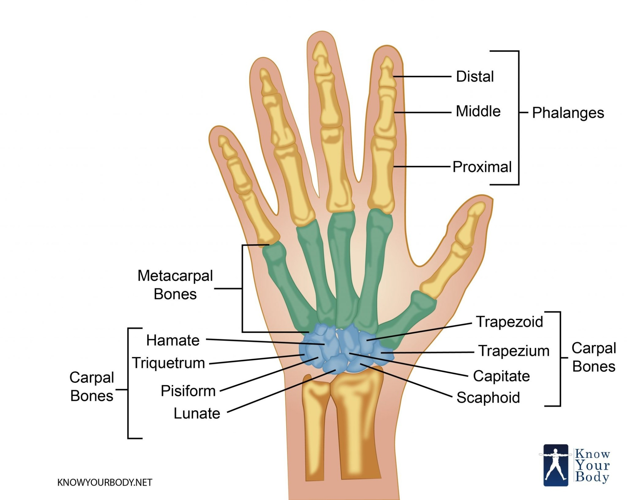 hight resolution of all fingers have 3 phalanges except the thumb has 2