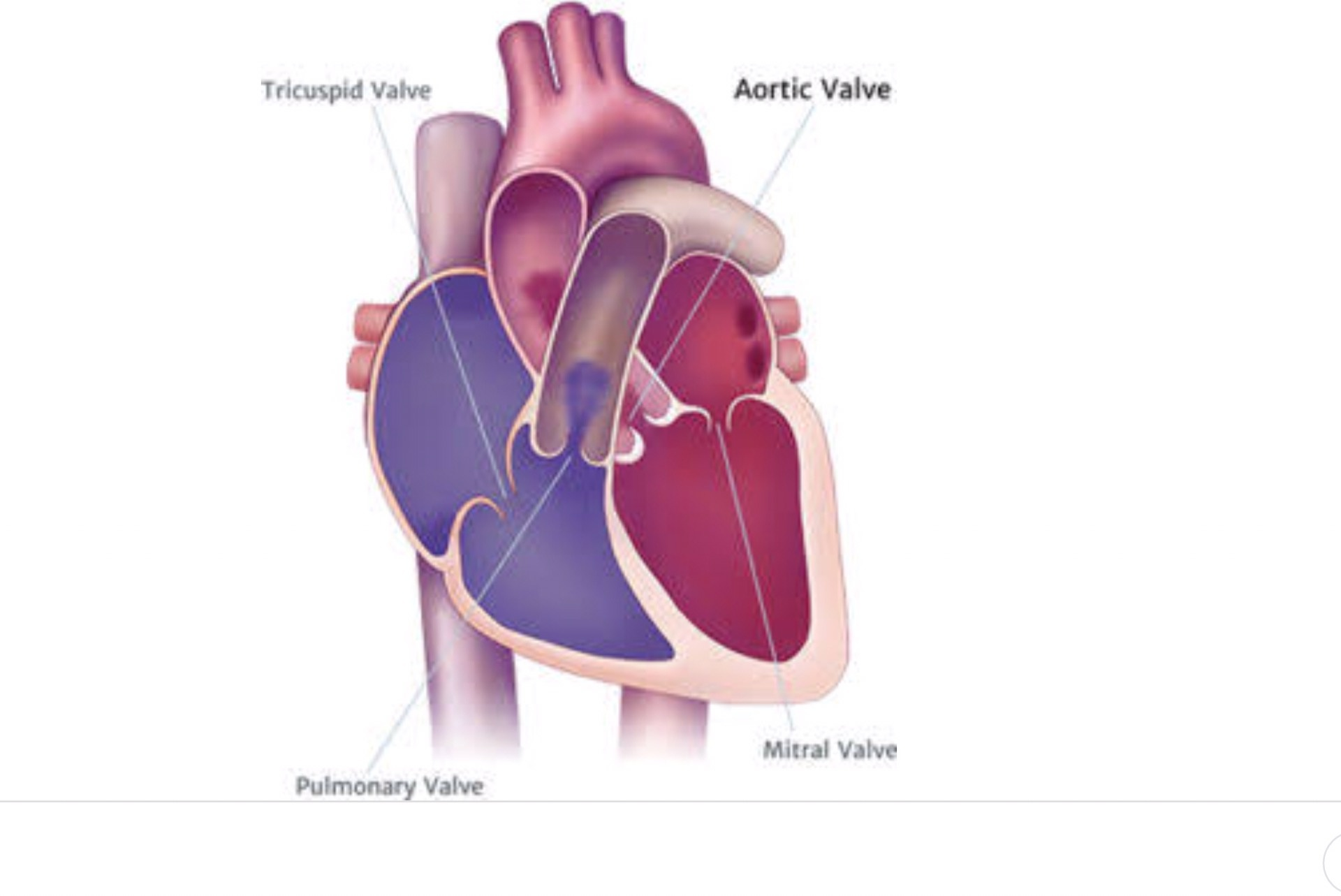 hight resolution of when the heart beats blood flows forward when it rests blood flows back closes the valve and blood flows through the coronary arteries