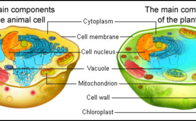 Do Animal Cells Have A Vacuole Quora
