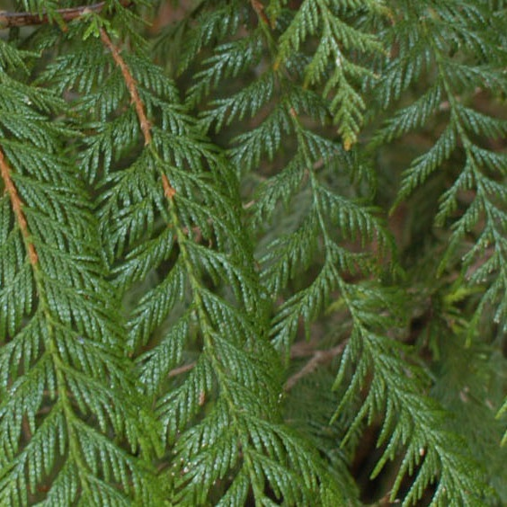 A diy guide, how to remove a tree safely: What Are The Leaves Of Conifers In The Form Of Quora