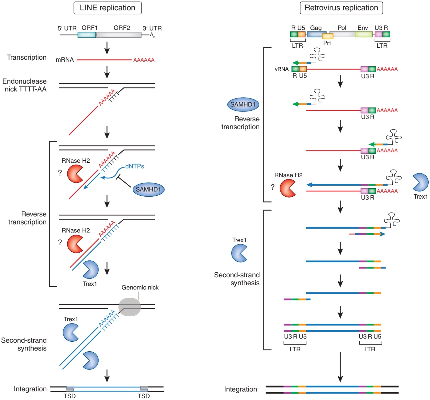 hight resolution of unlike telomerases the reverse transcription activity of retroelements are not necessary for the host cells nevertheless they have happened many time