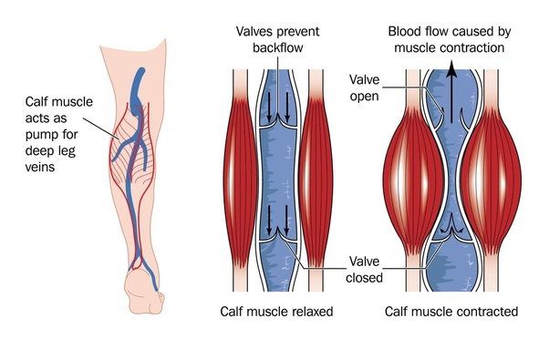 How does blood flow from the leg to the heart? - Quora