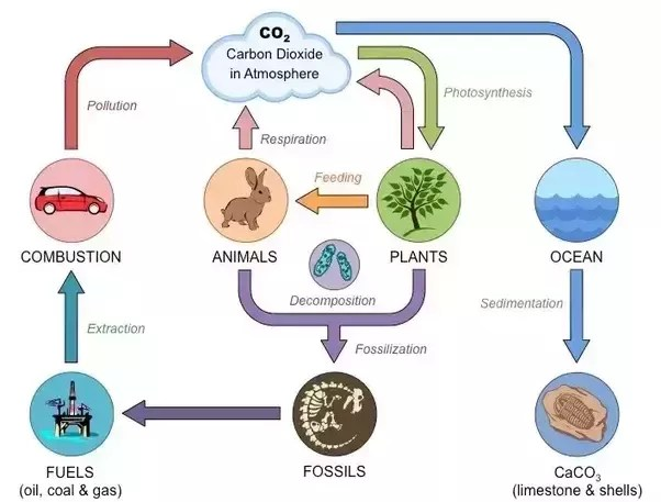 photosynthesis and cellular respiration cycle diagram 1985 chevy silverado stereo wiring how is the carbon all are interrelated from wikipedia article