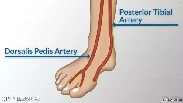 foot pulses diagram cat 5 wiring plug what are pulse points and where they located in the other answers have explained excellently here is a more visual reference of two most commonly used ankle