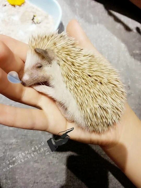 Pet You Can Have Hedgehog