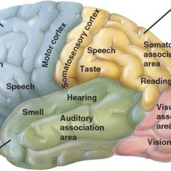 Easy Brain Diagram Of A Simple Reflex Arc How Does The Cerebral Cortex Relate To Consciousness And We Process World Around Us? - Quora