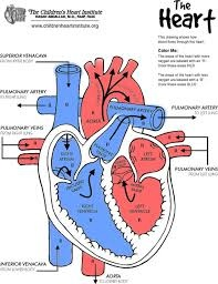 simple animal cell diagram labeled firing order chevy hei distributor wiring what of a human heart (biology) can you make (provide one)? - quora