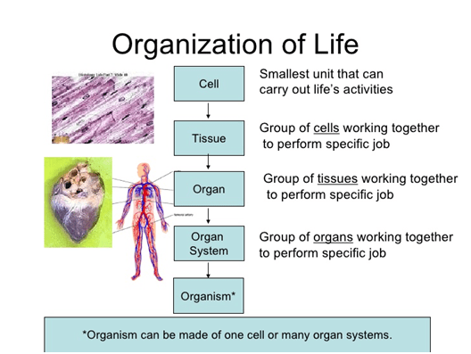 What Is The Relation Among The Cell Tissue Organs And