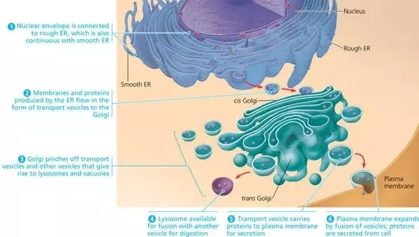 eukaryotic endomembrane system cell diagram hunter fan outdoor how is the of a comprised quora responsible for manufacture and distribution most cellular materials to be used internally or export