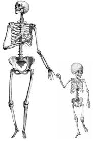 How Many Bones Does A Baby Have : bones, Bones, Newborn, Baby?, Quora