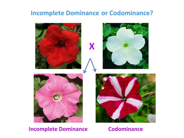 What Are The Similarities Between Incomplete Dominance And Codominance?  Quora