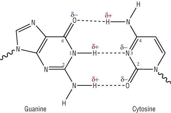 Why are there two hydrogen bonds between adenine and