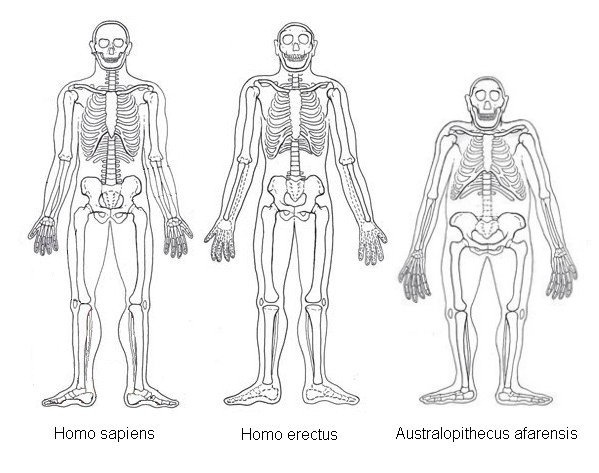 How do Australopithecus physical features align with Homo