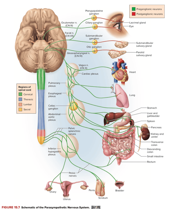vagus nerve diagram human skull front view does the connect to all major organs in body quora this is my of innervation pathways parasympathetic nervous system showing as lowermost green nerves arising from
