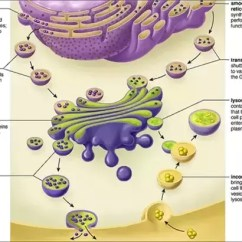 Eukaryotic Endomembrane System Cell Diagram Deh P3700mp Wiring How Are The Functions Of Components Here See For Better Understanding