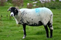 What are the differences between sheep, lamb, goat, ram