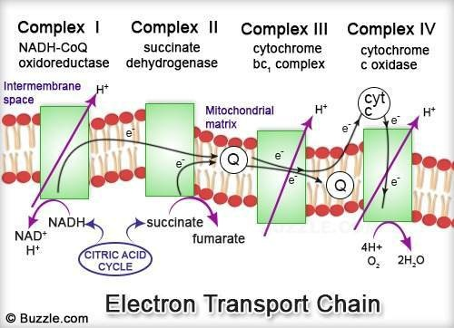 electron transport chain diagram for dummies 2001 ford f150 audio wiring how are protons pumped through the oxidoreductase complexes in some text was misplaced above mitochondrial matrix is space inside inner membrane up to intermembrane