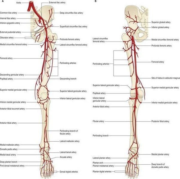 Image And Vascular Anatomy Lower Extremity Trunk
