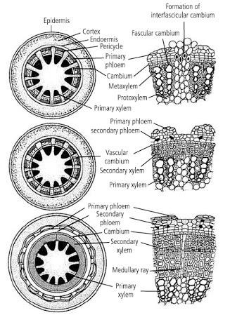 Is intrafascicular cambium primary or secondary meristems