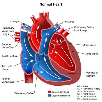 Do veins and coronary arteries both carry oxygenated blood ...