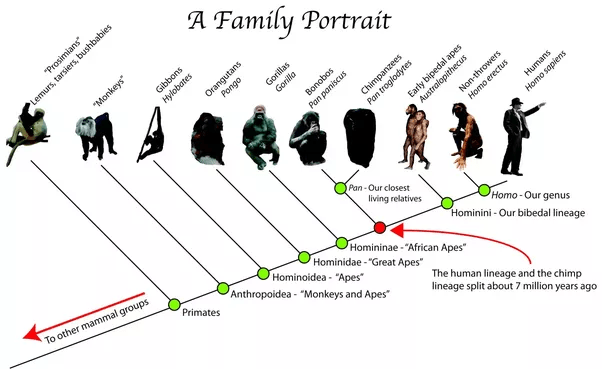 In human evolution, the first stage is the monkey and last