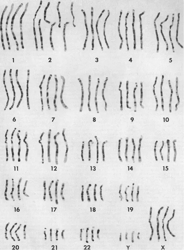 Why do other great apes have one more chromosome than us