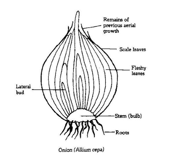 carrot plant diagram leaf cell labeled and what they do is onion a root or modified stem? - quora