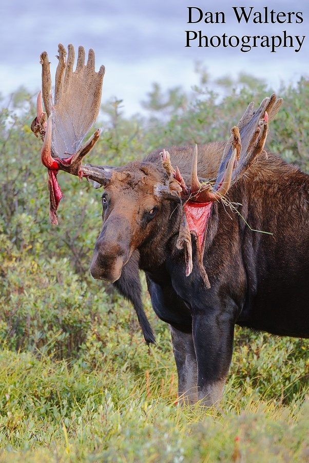 Moose Vs Bear : moose, Would, Fight,, Grizzly, Moose?, Quora