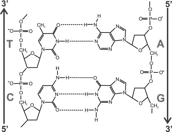 What intermolecular forces stabilize the double helix