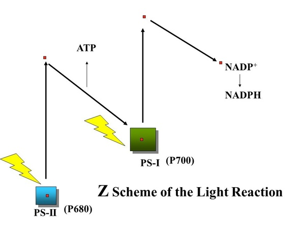 photosynthesis z scheme diagram telecaster wiring diagrams how can we say that sunlight is needed for quora as see there are two photosystem psi and psii receives lights of 680 nm wavelength which triggers one electron but ps i only light