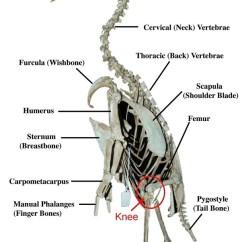 Ostrich Skeleton Diagram Electric Trailer Brake Parts Do Penguins Have Knees? - Quora