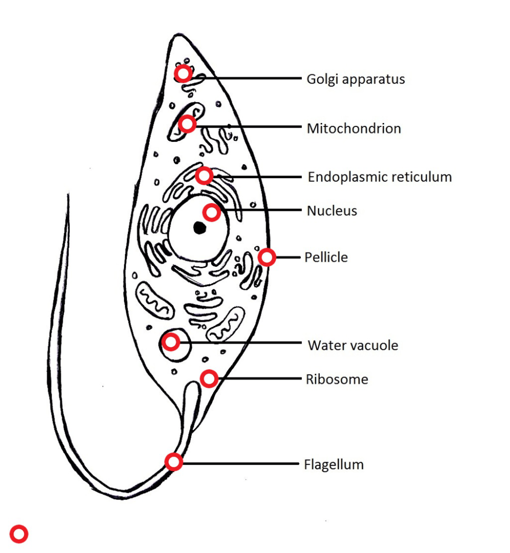 medium resolution of diagram of protozoans wiring diagram pass protozoa cell diagram labeled