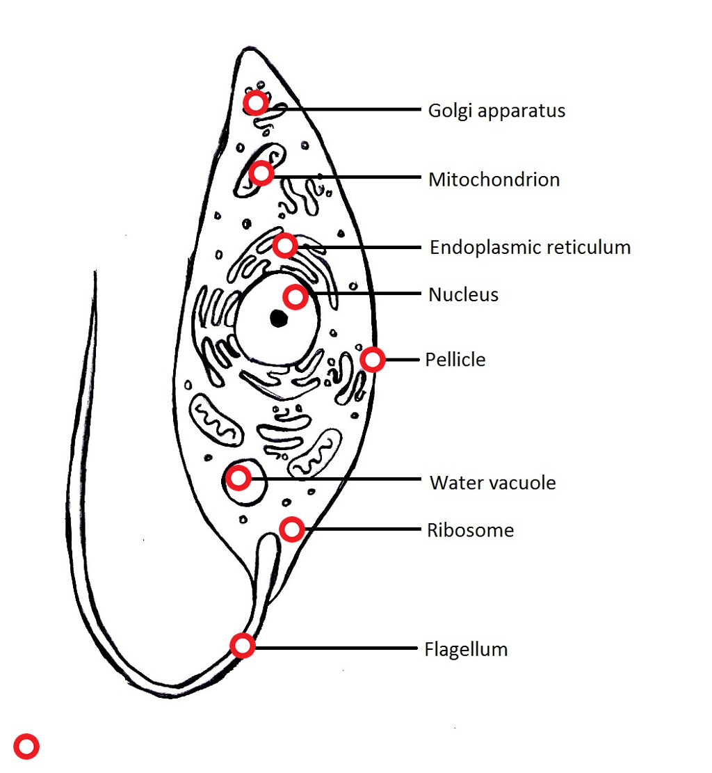 hight resolution of diagram of protozoans wiring diagram pass protozoa cell diagram labeled