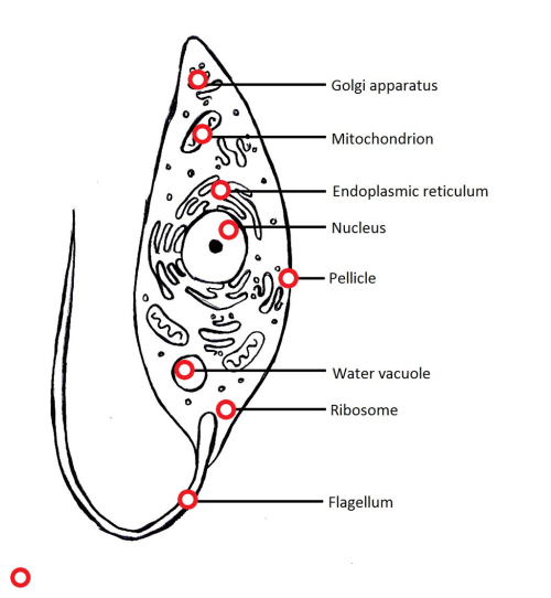 small resolution of diagram of protozoans wiring diagram pass protozoa cell diagram labeled