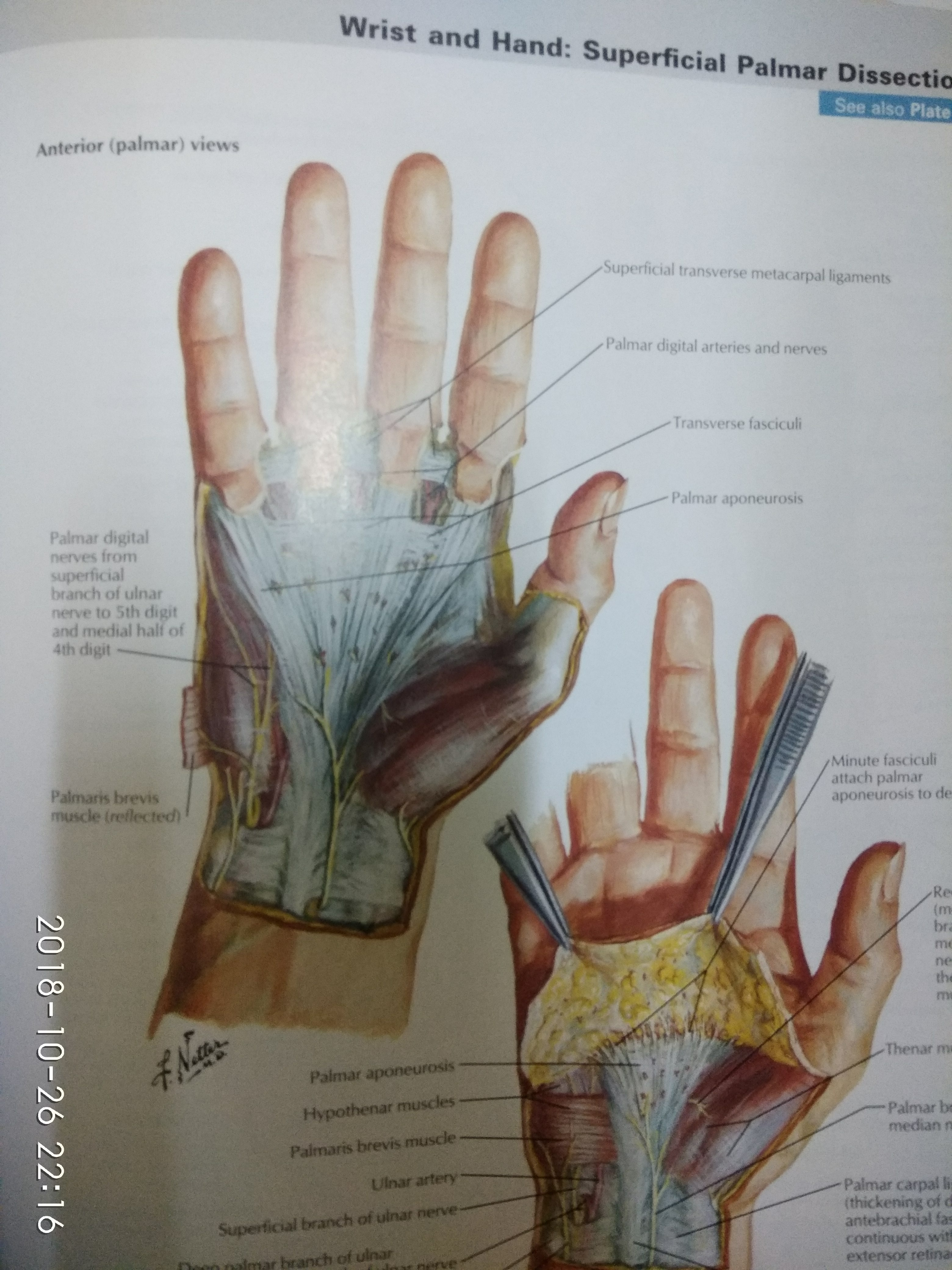 palmar hand muscle anatomy diagram renault master 2005 wiring which muscles are used in writing quora the lumbricals intrinsic of that flex metacarpophalangeal joint and extend interphalangeal