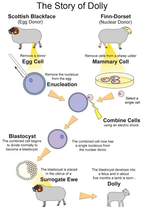 Kloning Embrio : kloning, embrio, Apakah, Kloning, Manusia, Dapat, Terjadi?, Quora