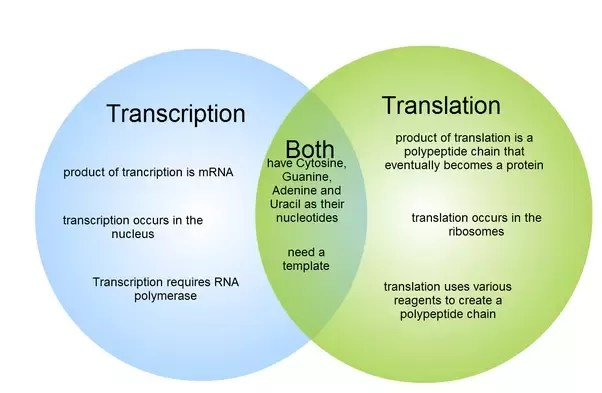 venn diagram comparing dna and rna pc keyboard wiring what are the major differences between transcription translation is converted into a complementary code synthesis of protein from an mrna template where in