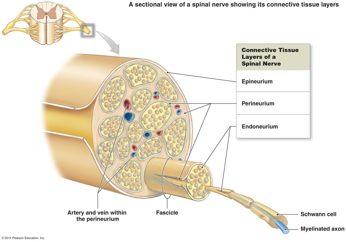 hight resolution of what happens when a nerve is damaged or penetrated quorathe supporting connective tissue is called