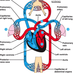 Human Heart And Lungs Diagram Arlec Fan Light Wiring Why Is The Off Center In Chest Quora