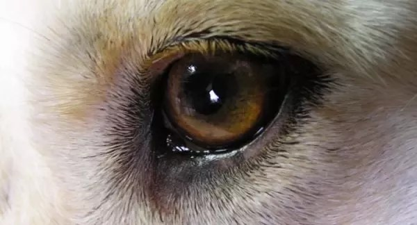 Brown Spots On My Dog S Eyes