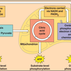 Stages Of Glycolysis And Fermentation Diagram Ford V6 Distributor Wiring What Is The Difference Between Cellular Respiration 2 Produces Most Energy This Comes In Form Atp Or Adenine Triphosphate