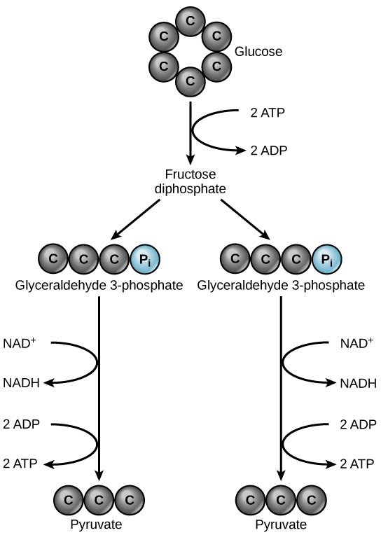 how to explain glycolysis in simple terms