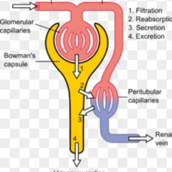 Nephron Diagram From A Textbook 4r70w Transmission Wire How To Describe The Function Of In Kidney Quora Understand Whole Mechanism One Must Be Thorough With Structure