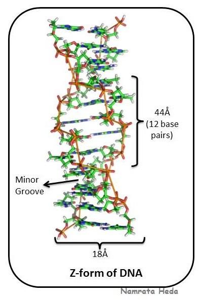 Nucleotide Diagram With 4 Sets Of Dna Bases
